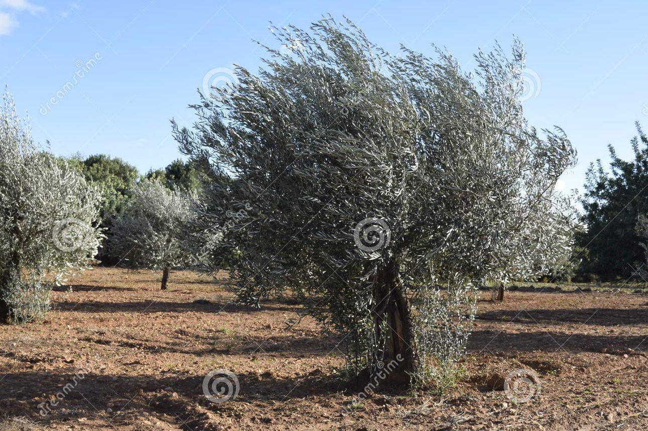 Contemporary-World-Literature-wind-olive-tree