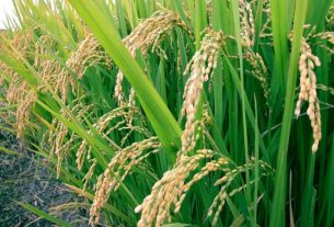 Growers Condemn Ban on Paddy Cultivation