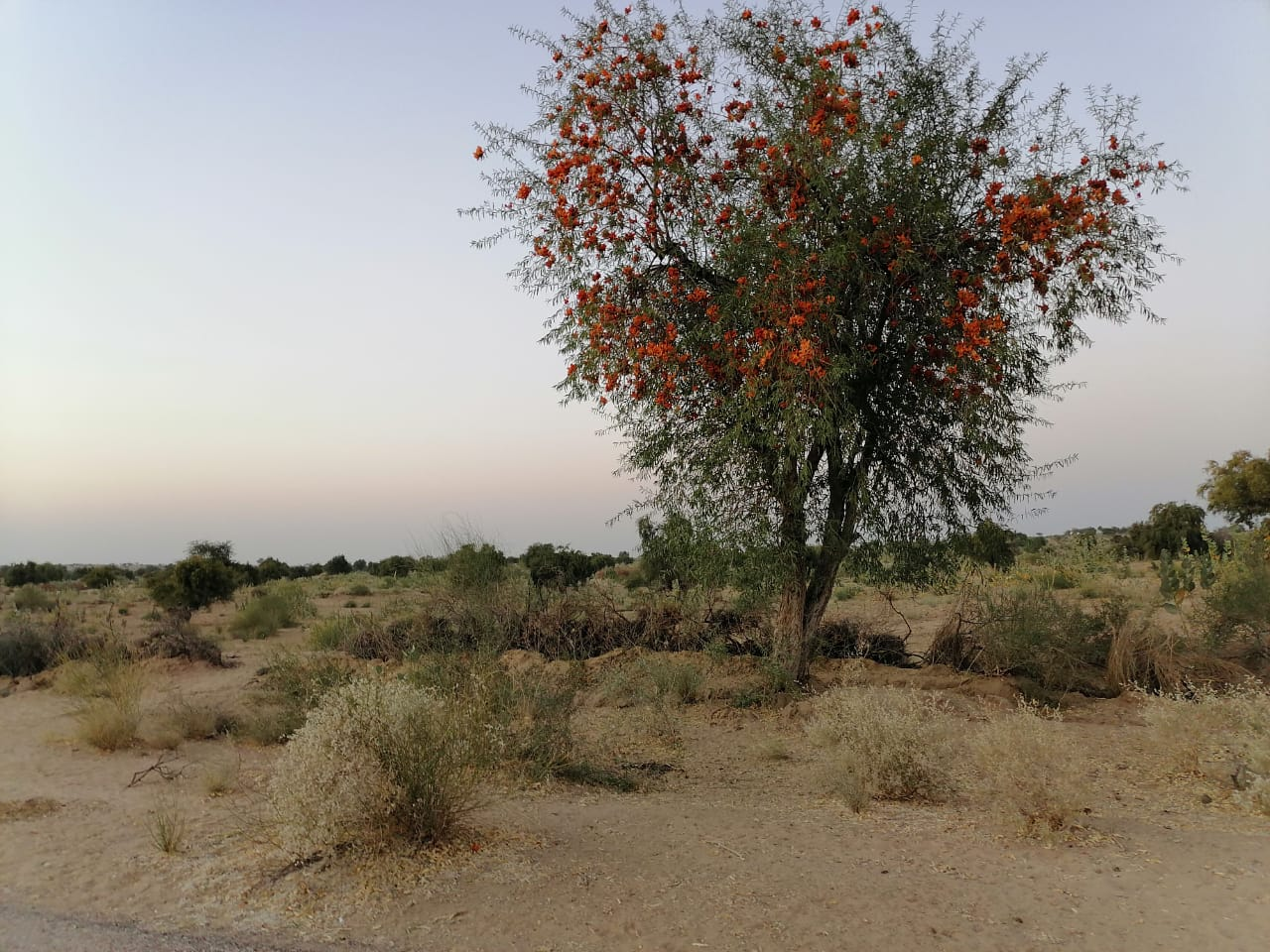 Rohiro……..Colorful tree of Thar - Sindh Courier-1