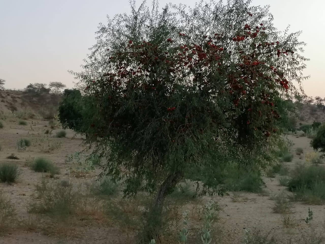 Rohiro……..Colorful tree of Thar - Sindh Courier-3