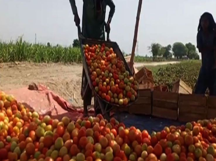 Tomato Growers of Sindh in Trouble