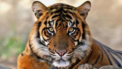 Photo of Eyes of the Royal Bengal Tiger: A Poem from Bengal